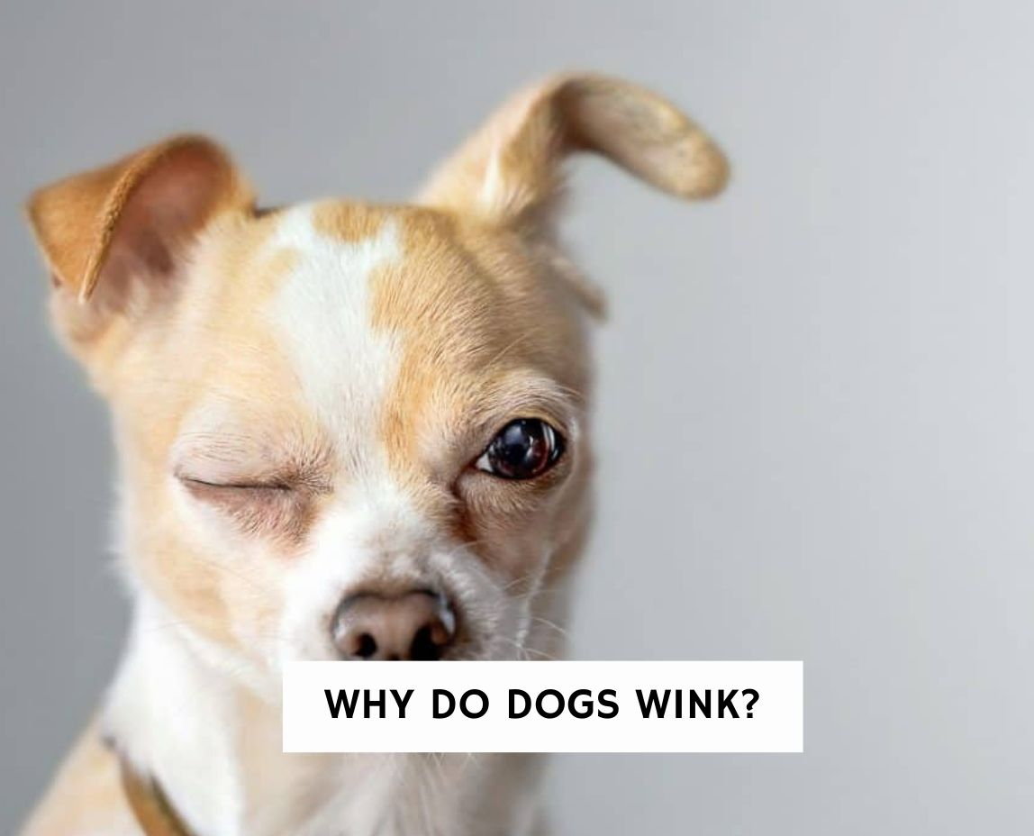 Why Do Dogs Wink?