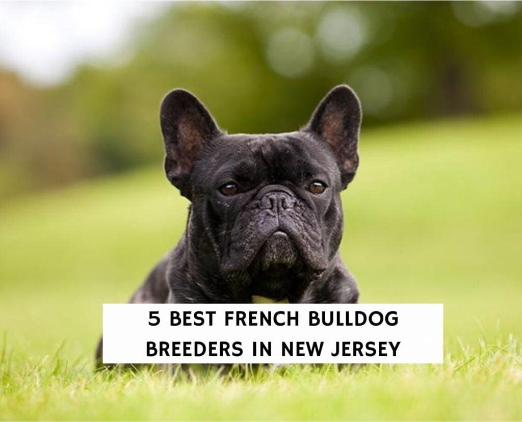 5 Best French Bulldog Breeders in New Jersey