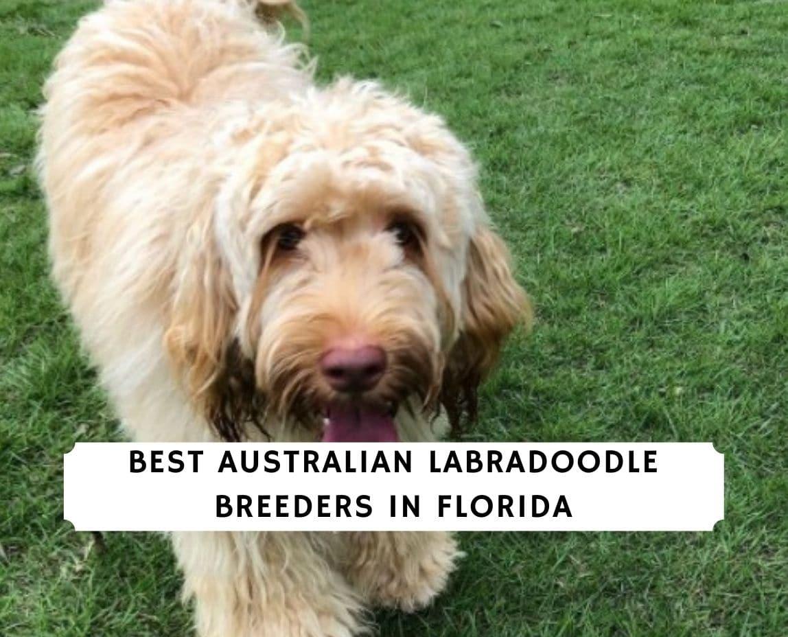 Australian Labradoodle Breeders in Florida