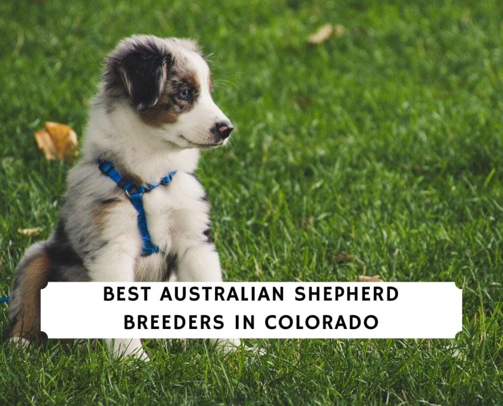 Australian Shepherd Breeders in Colorado