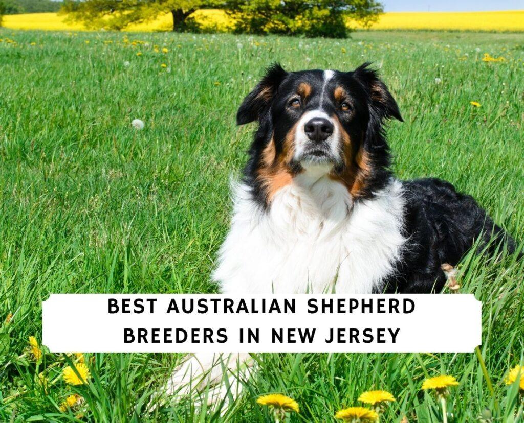 Australian Shepherd Breeders in New Jersey