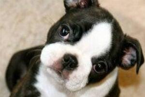 BERISAS Boston Terriers