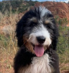 Bernedoodle Puppies For Sale in Tennessee