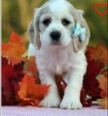 Buckeye Puppies