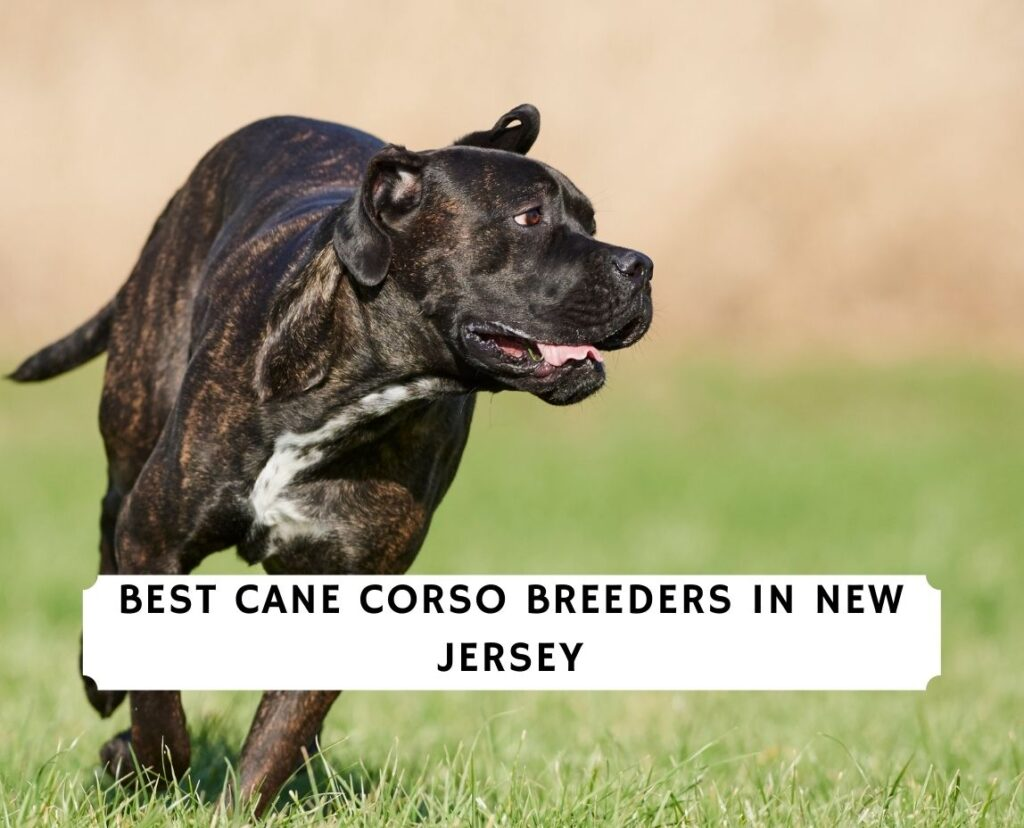 Cane Corso Breeders in New Jersey