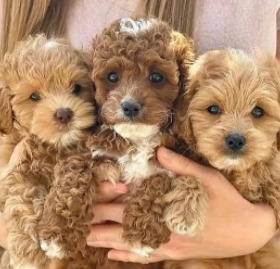 Conclusion For The Best Australian Labradoodle Breeders in Florida