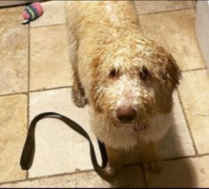 Conclusion For The Best Labradoodle Breeders in Nevada