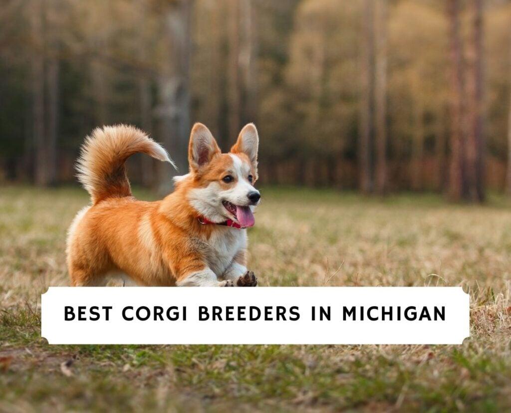 Corgi Breeders in Michigan