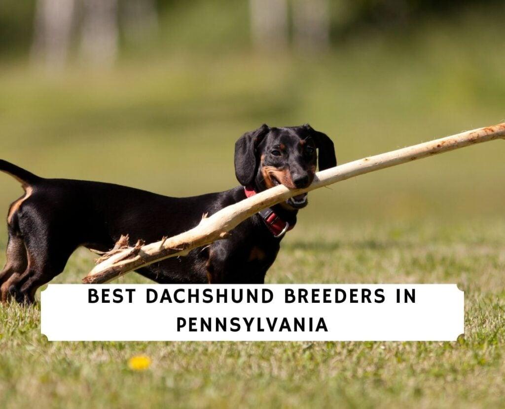 Dachshund Breeders in Pennsylvania