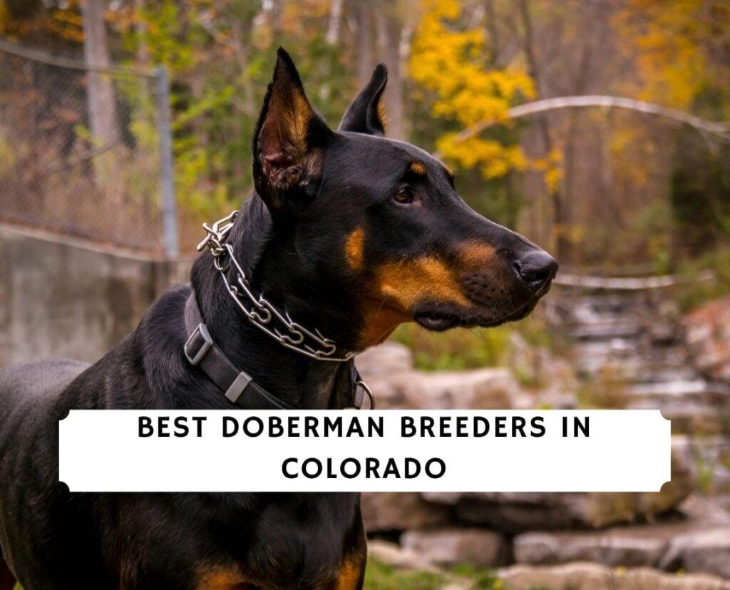 Doberman Breeders in Colorado