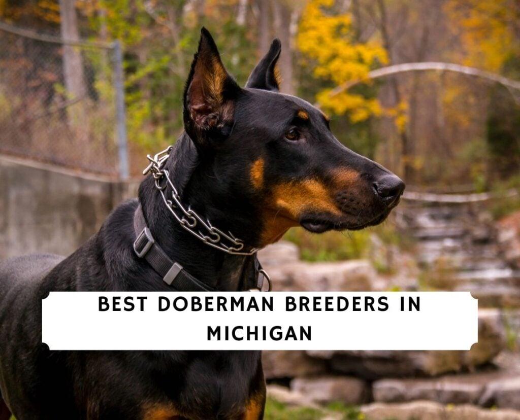 Doberman Breeders in Michigan