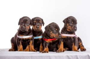 Finding the Perfect Doberman