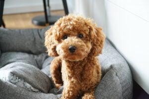 Florida Toy Poodles