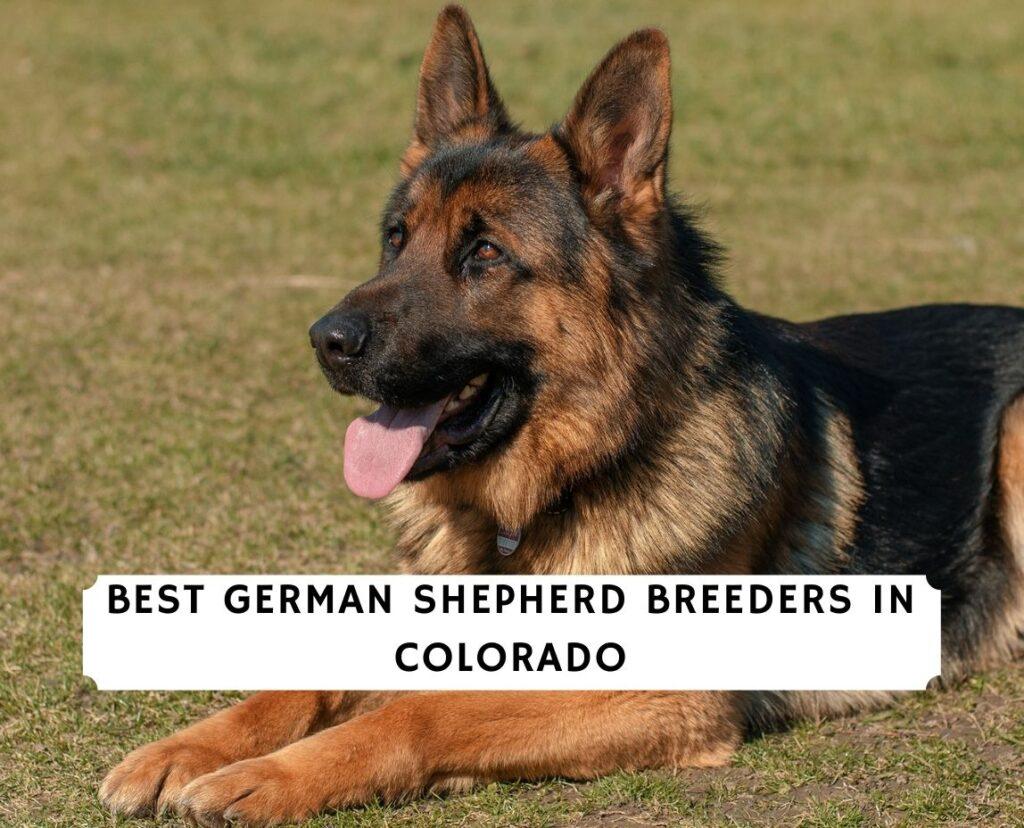 German Shepherd Breeders in Colorado