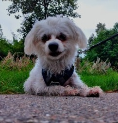 Guidelines For Finding the Right Maltipoo Breeder