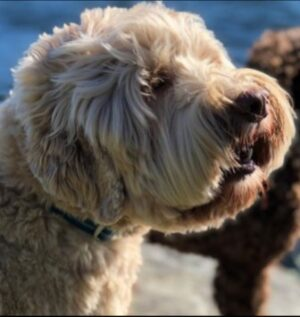 How Do You Know If a Labradoodle Breeder From Nevada is Reputable