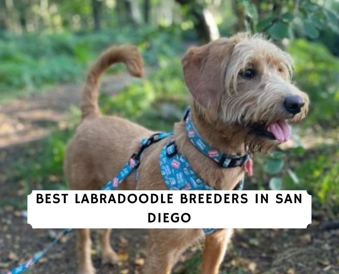Labradoodle Breeders in San Diego