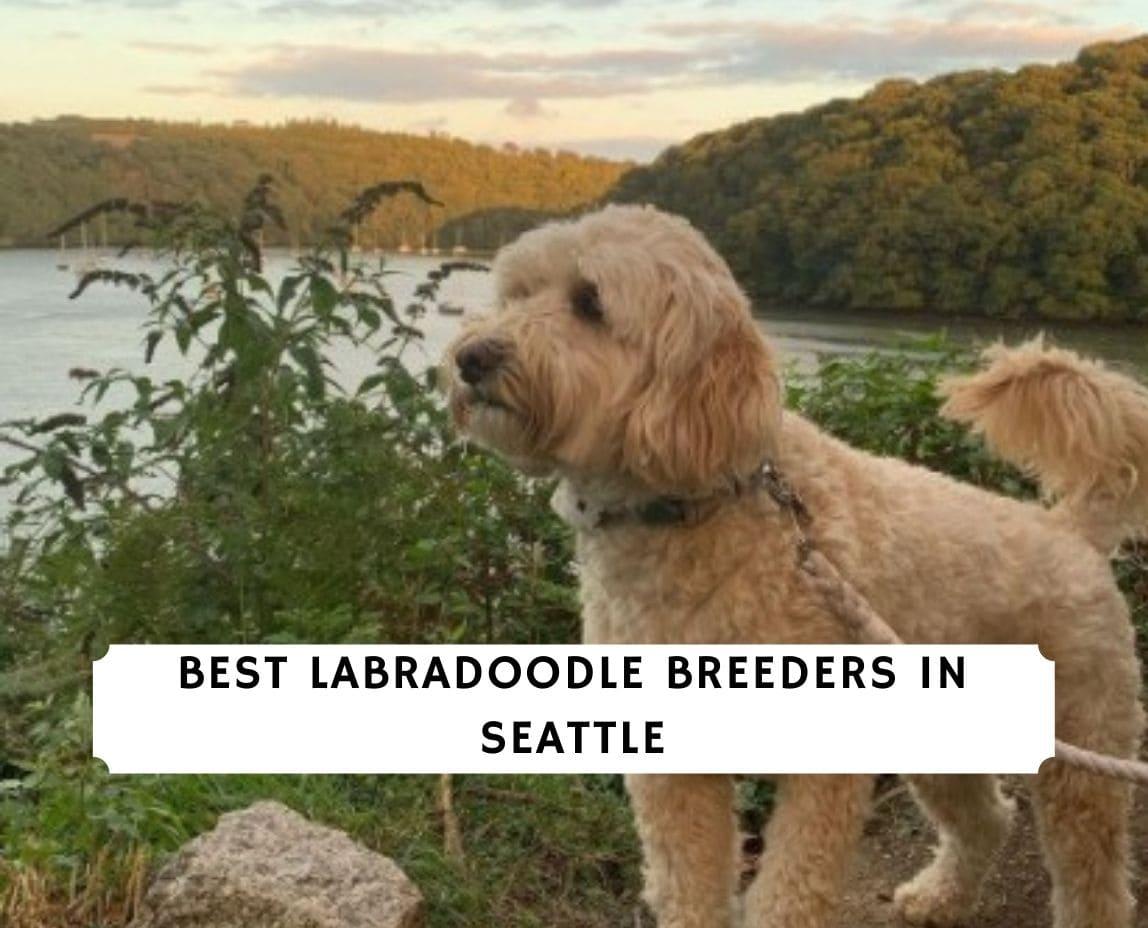 Labradoodle Breeders in Seattle
