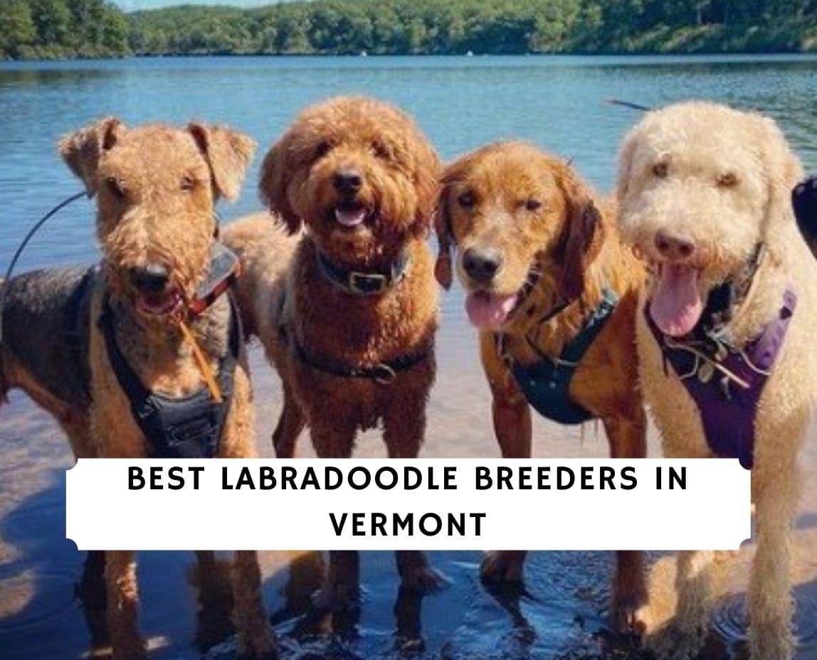 Labradoodle Breeders in Vermont