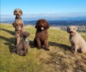 Labradoodle Puppies For Sale in Nevada