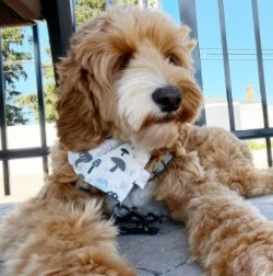 Labradoodle Puppies For Sale in San Diego