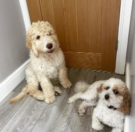 Labradoodle Puppies For Sale in Seattle