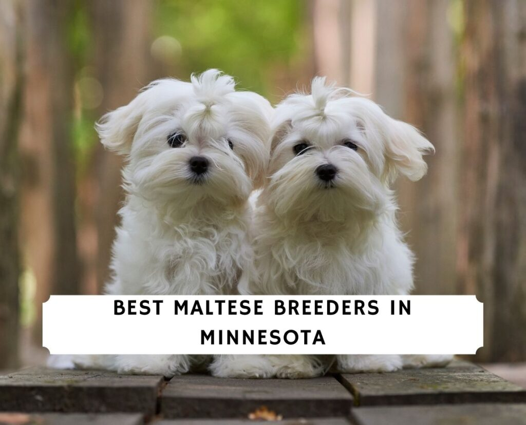 Maltese Breeders in Minnesota