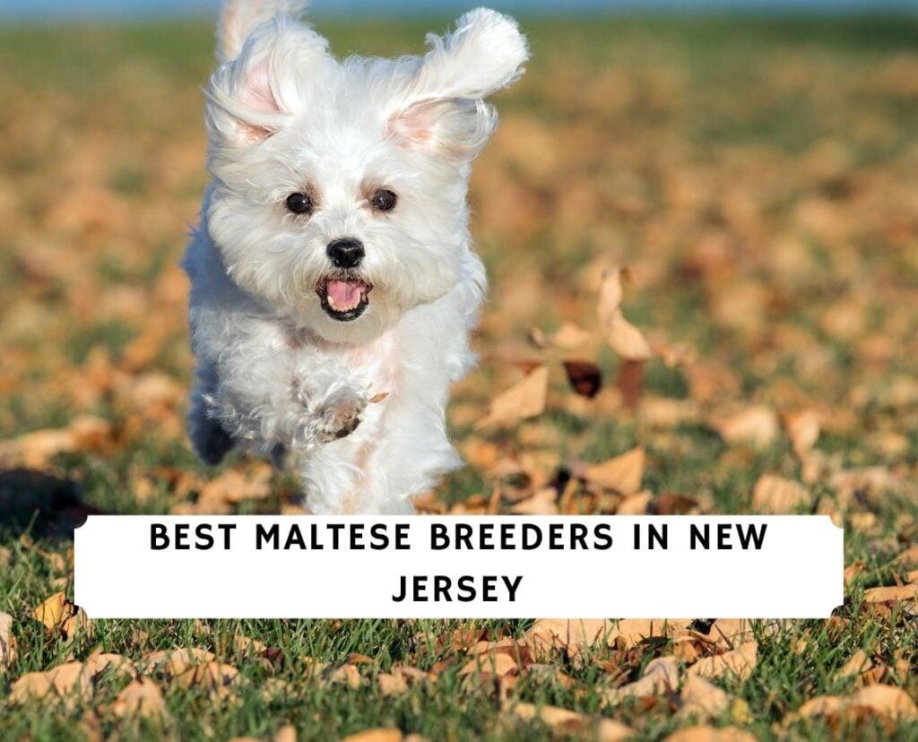 Maltese Breeders in New Jersey
