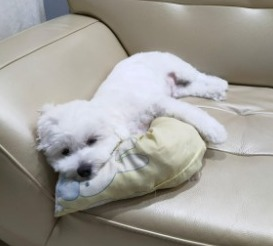 Maltipoo Puppies For Sale in the United States