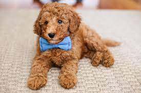 Learn and Meet the Labradoodle
