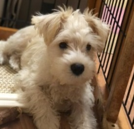 Miniature Schnauzer Puppies For Sale in the United States