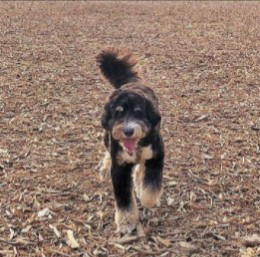 PuppySpot's Bernedoodles for Tennessee