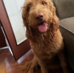 PuppySpot's Labradoodles for Seattle