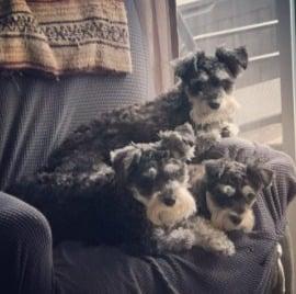PuppySpot's Miniature Schnauzer Breeders in the United States