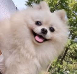 PuppySpot's Pomeranians for Michigan