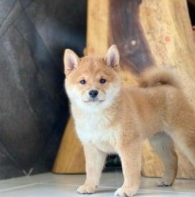 PuppySpot's Shibas for North Carolina