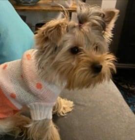PuppySpot's Yorkie for Michigan