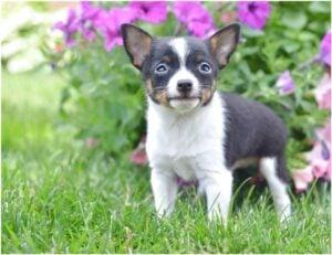 Rinks Little Chihuahuas