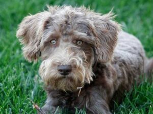Schnoodle Puppies for Sale in Arizona