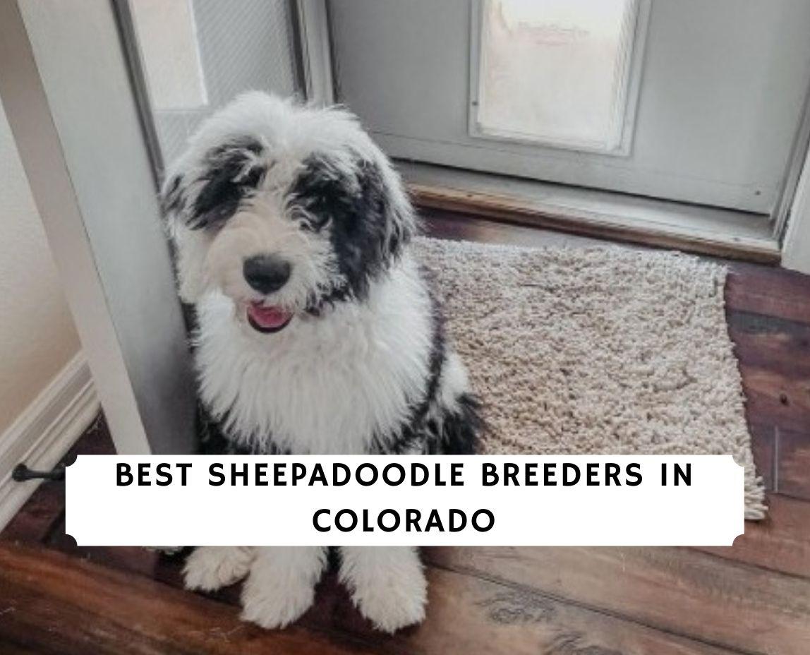 Sheepadoodle Breeders in Colorado