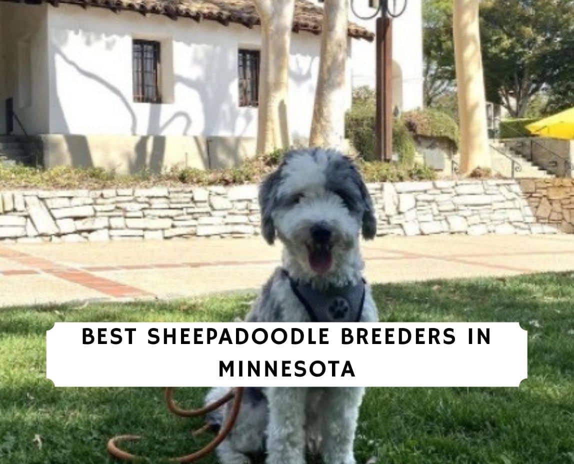 Sheepadoodle Breeders in Minnesota