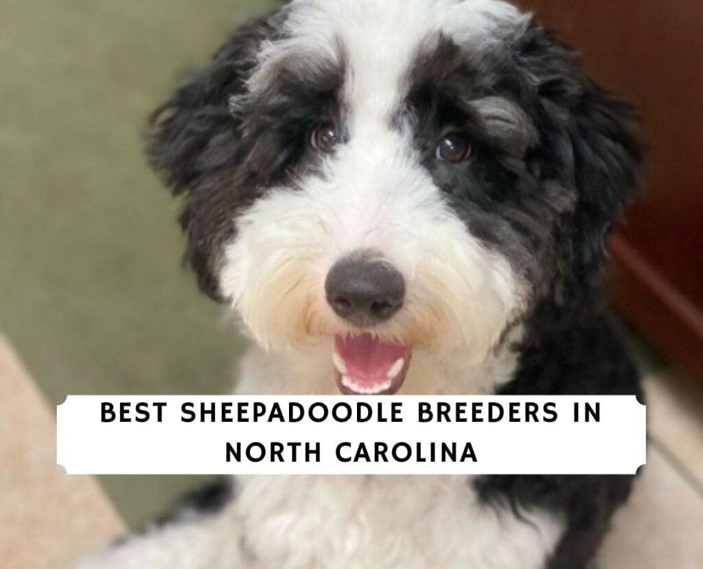 Sheepadoodle Breeders in North Carolina