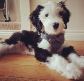 Sheepadoodle Puppies For Sale in Arizona