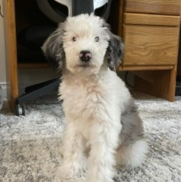 Sheepadoodle Puppies For Sale in Illinois