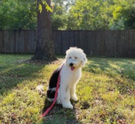 Sheepadoodle Puppies For Sale in Minnesota