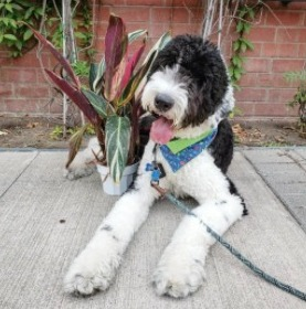 Sheepadoodle Puppies For Sale in New England