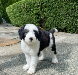 Sheepadoodle Puppies For Sale in North Carolina