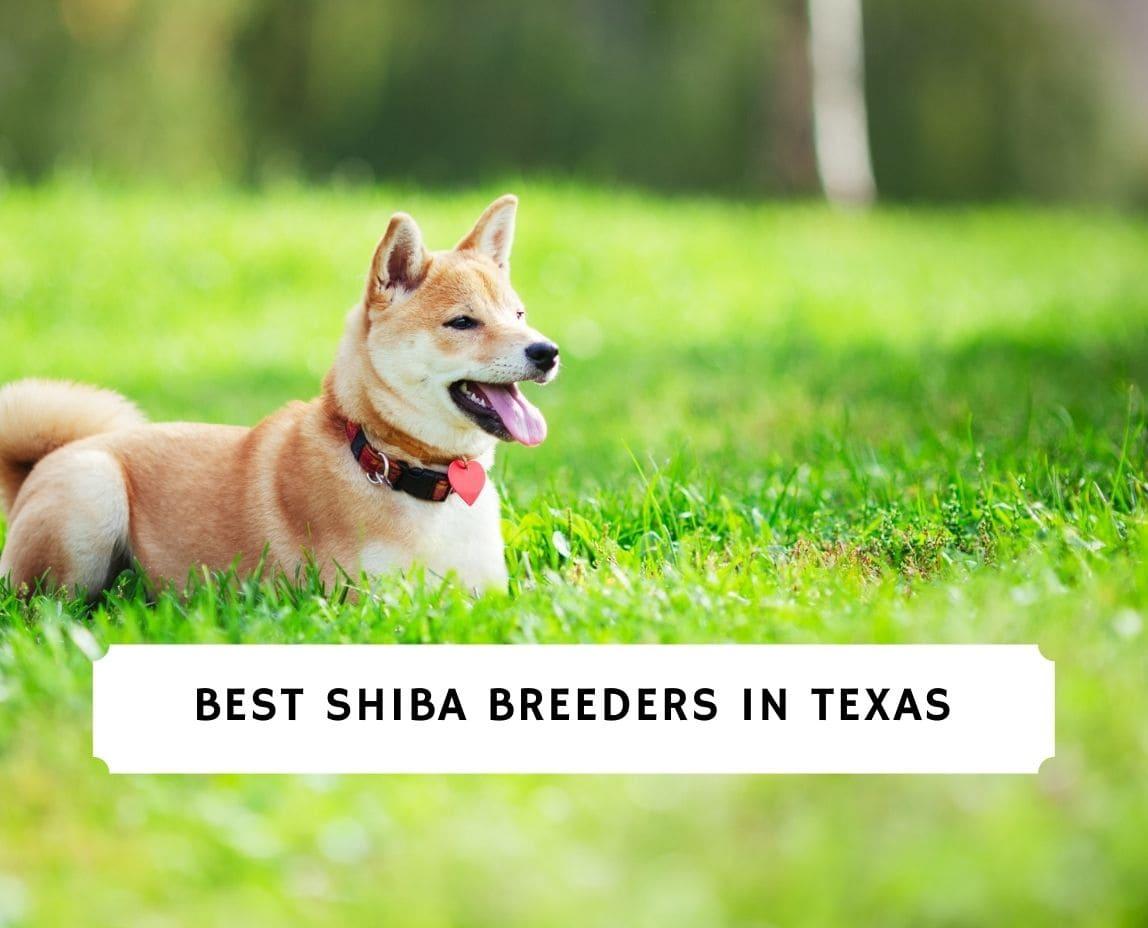 Shiba Breeders in Texas