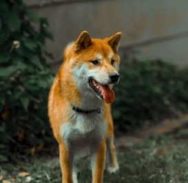 Shiba Puppies For Sale in Florida