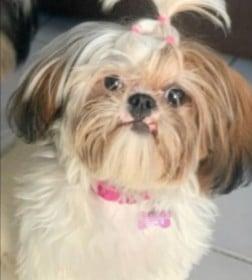 Shih Tzu Puppies For Sale in Michigan